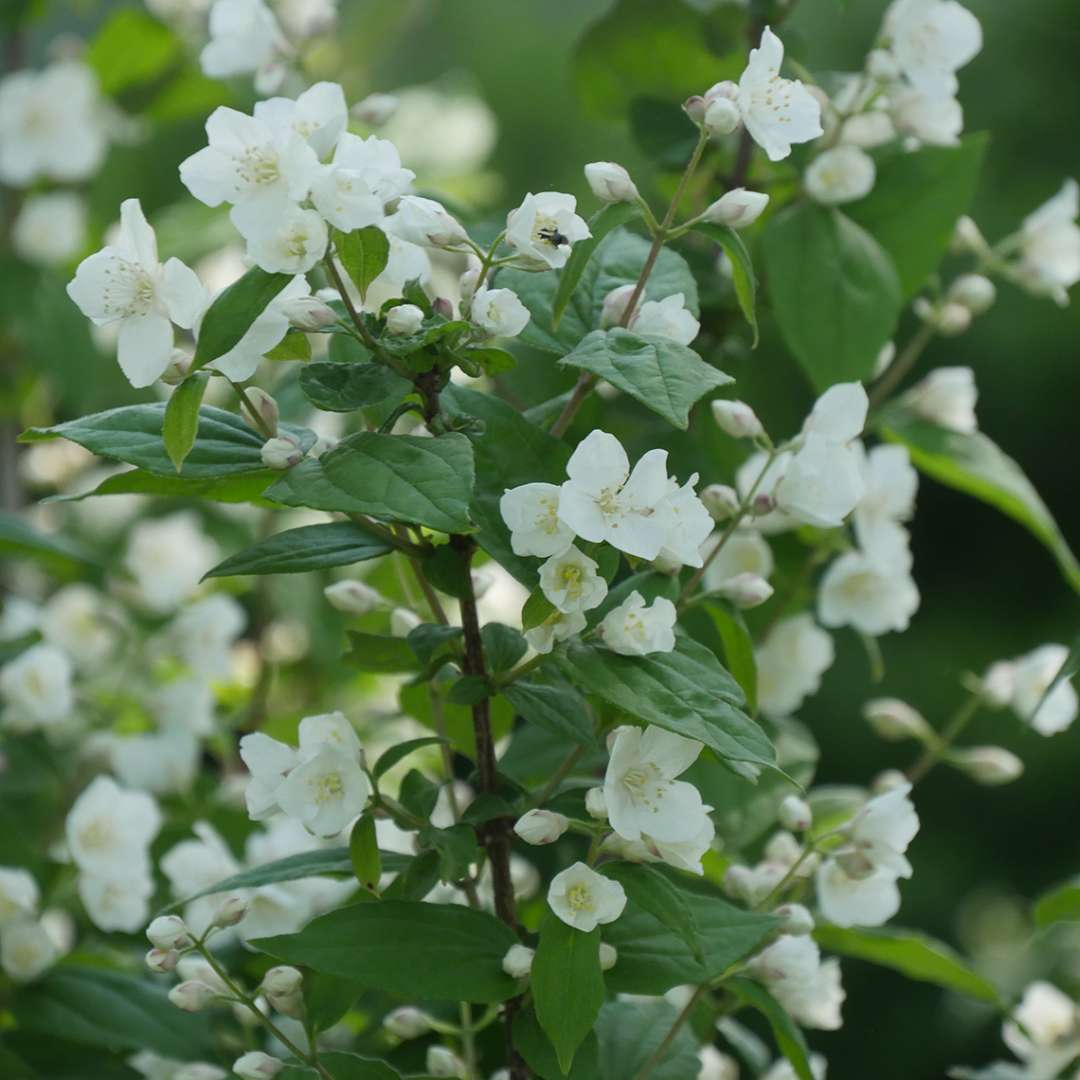 The white buds and flowers of Illuminati Arch mock orange