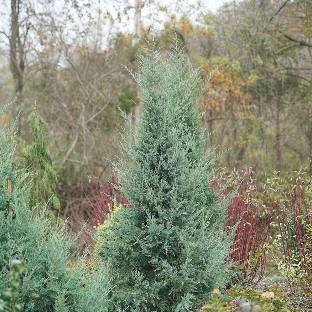 Juniperus Aquavita's evergreen foliage in fall