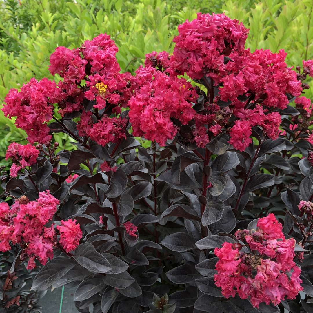 Center Stage Pink Lagerstroemia's pink blooms contrasting against its black foliage in summer