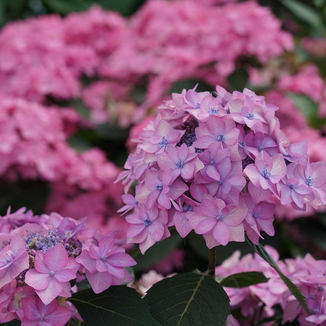 A flower of Let's Dance Cancan hydrangea with purple coloration