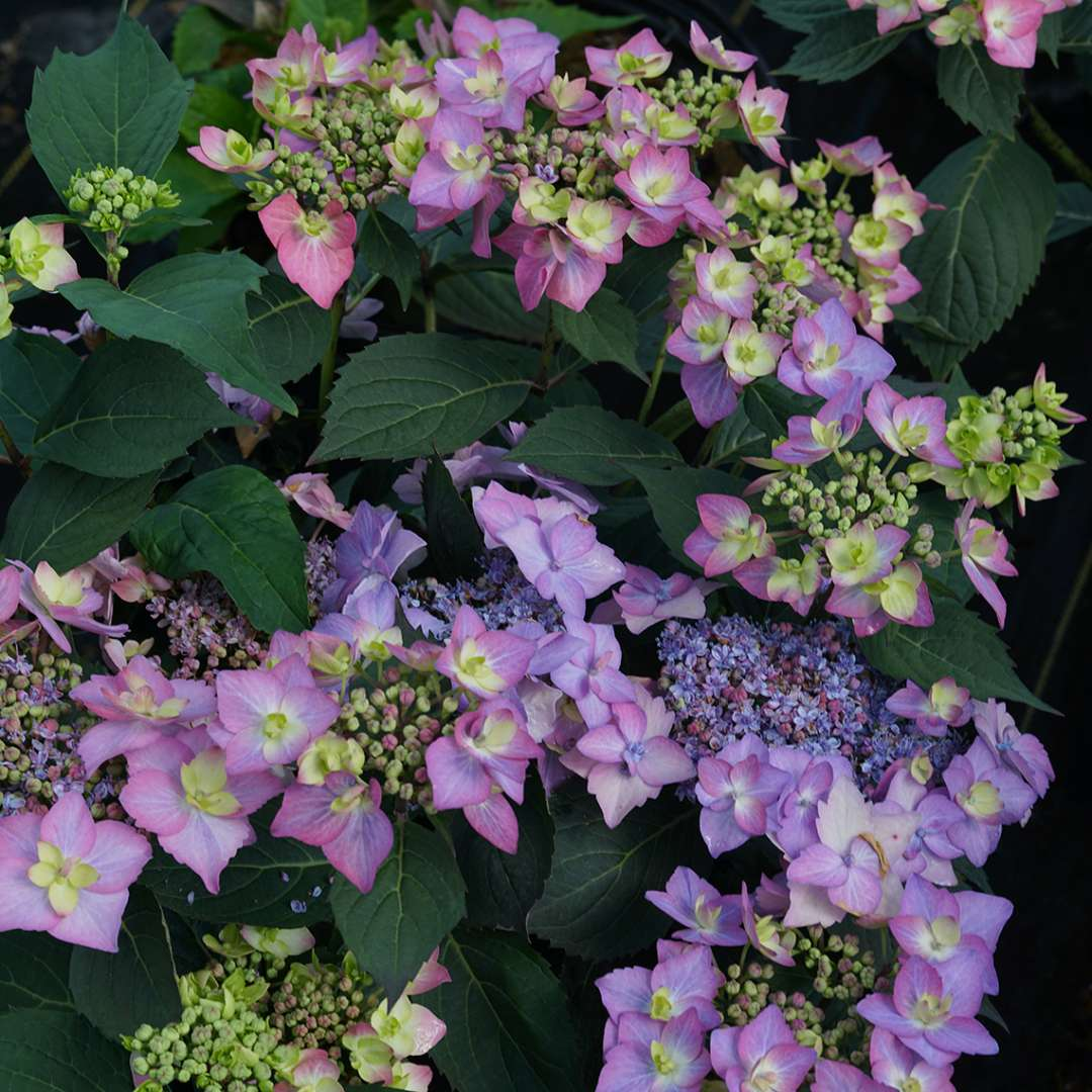 Let's Dance Cancan hydrangea is easy to grow and pretty