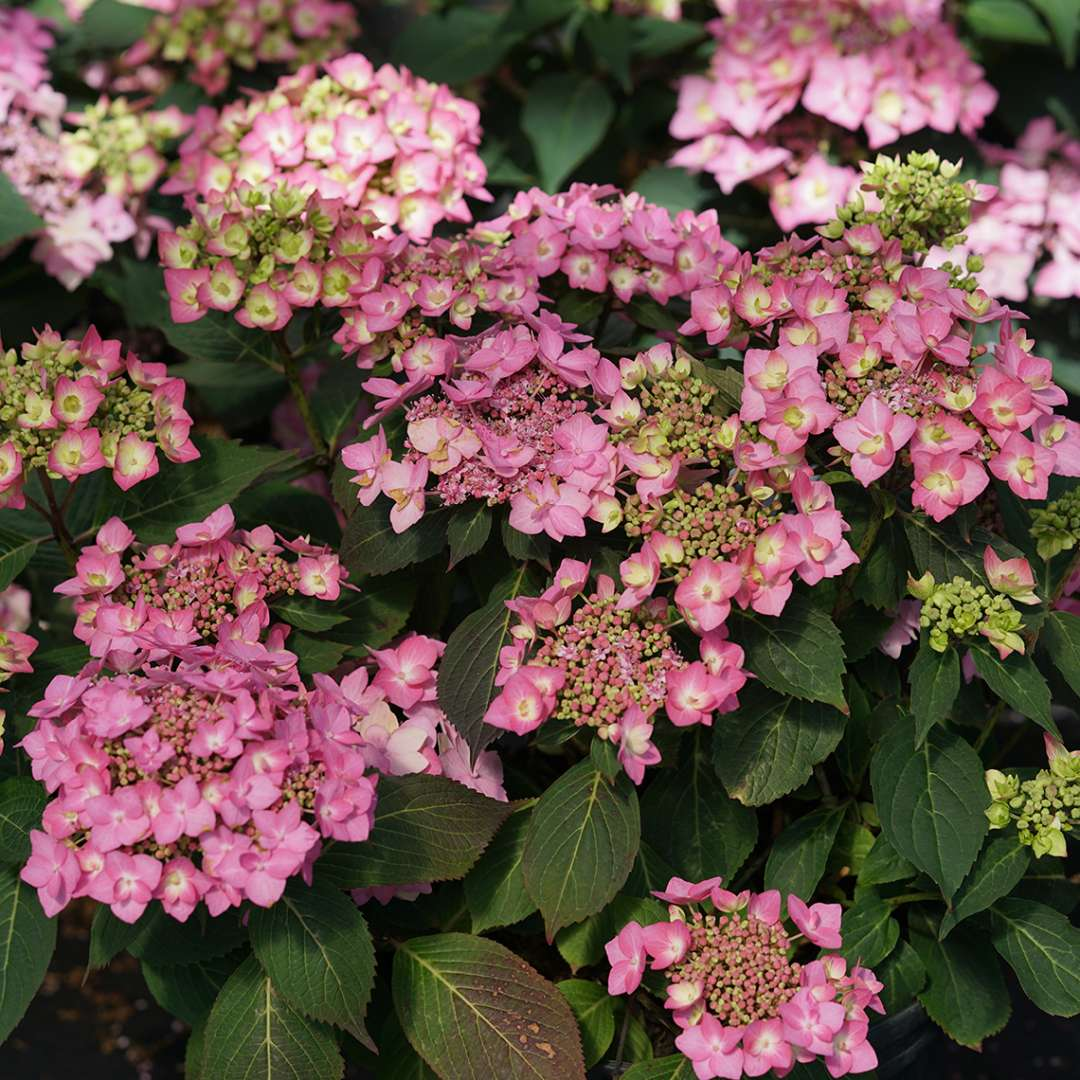 The very floriferous hydrangea, let's dance cancan