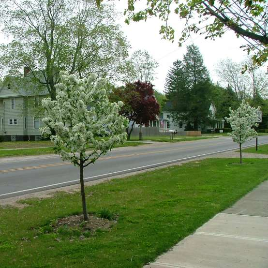 Sweet Sugar Tyme crabapple trees in bloom with white flowers