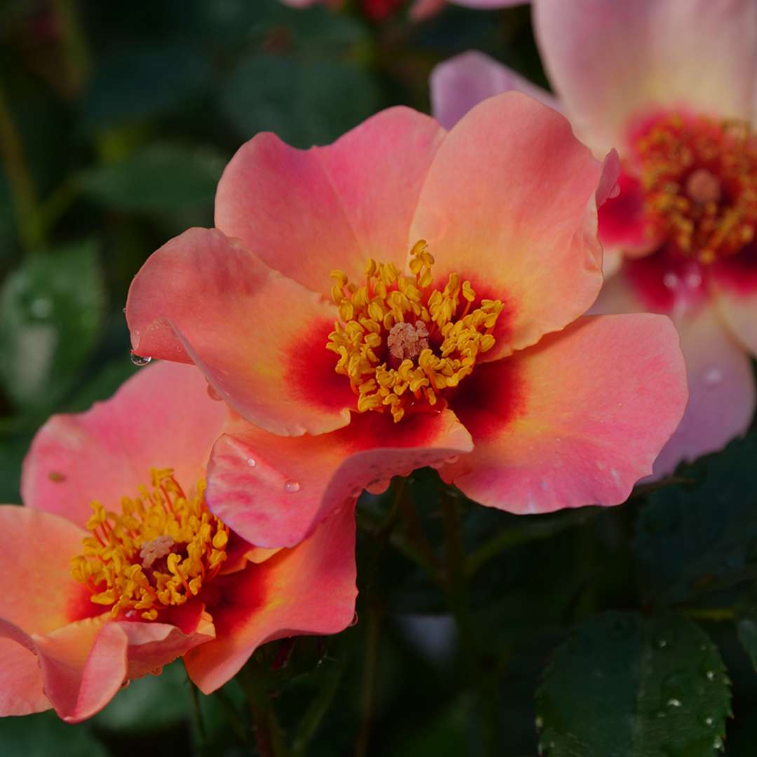 Three coral-pink blooms of Ringo All Star rose from Proven Winners