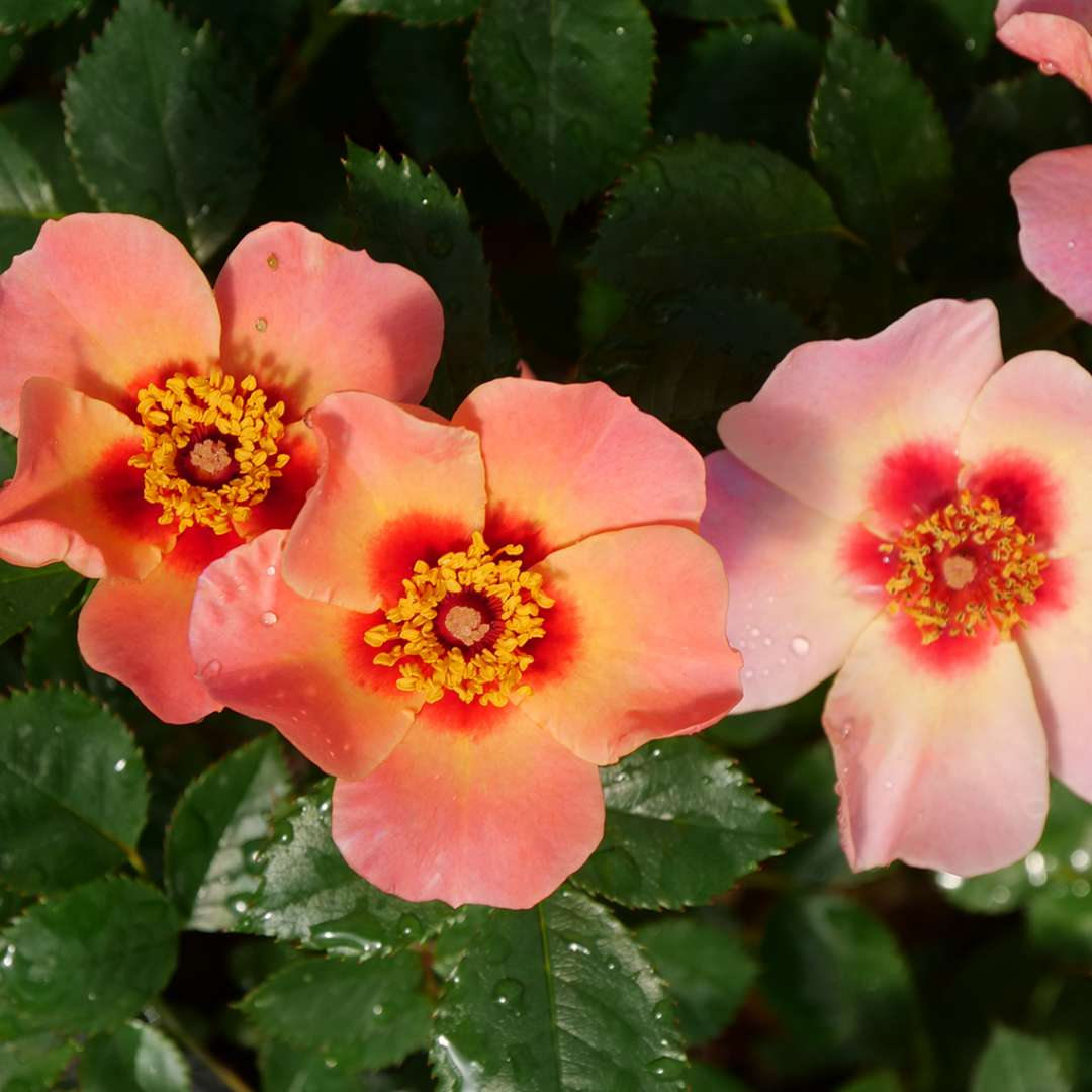 Three pink-orange flowers of Ringo All Star rose face the camera