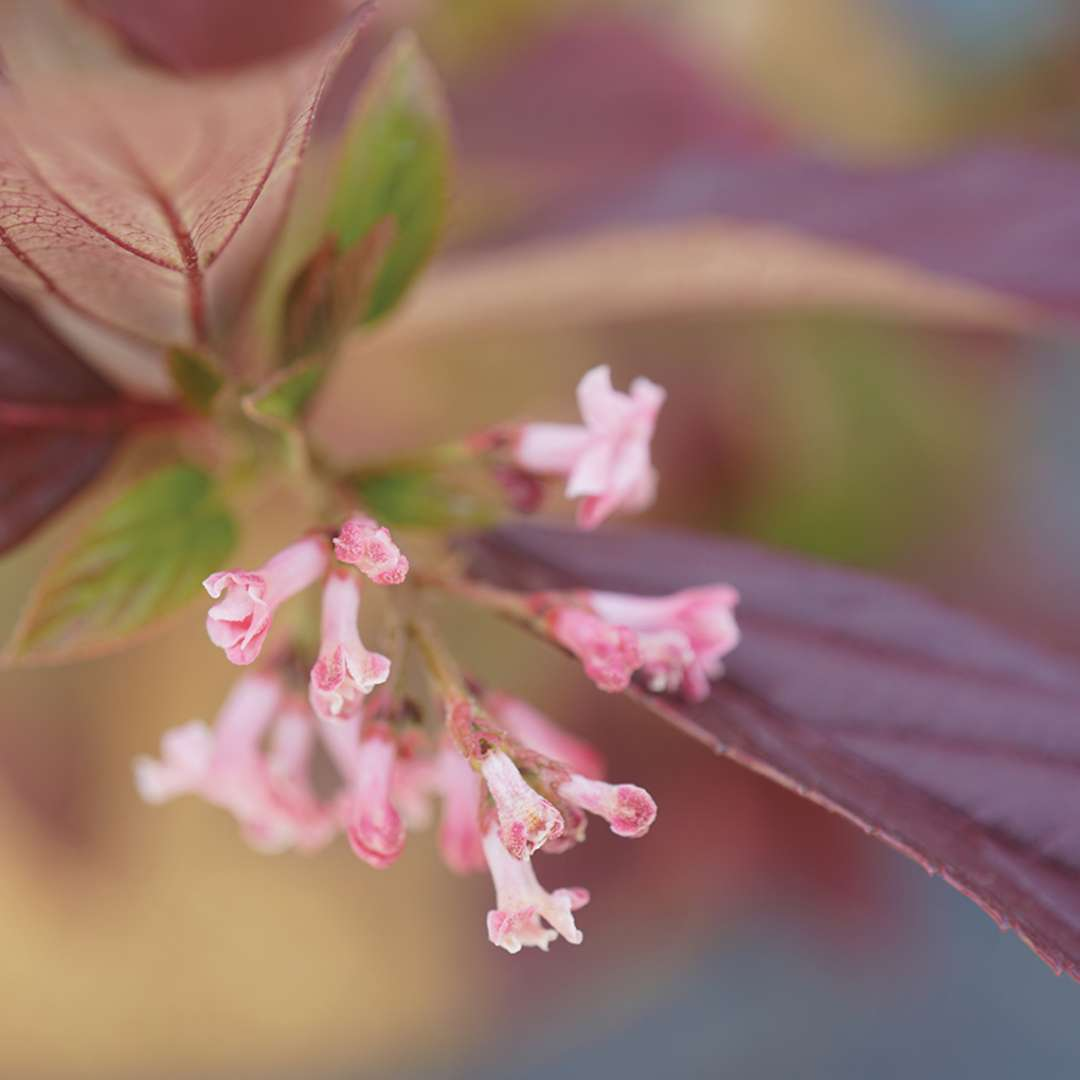 The small but powerfully fragrant flowers of Sweet Talker viburnum