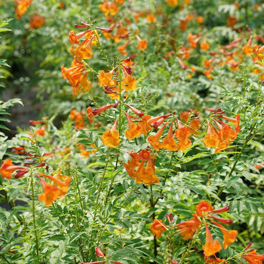 Tecoma Chicklet Orange in summer with bright orange blooms and green foliage.