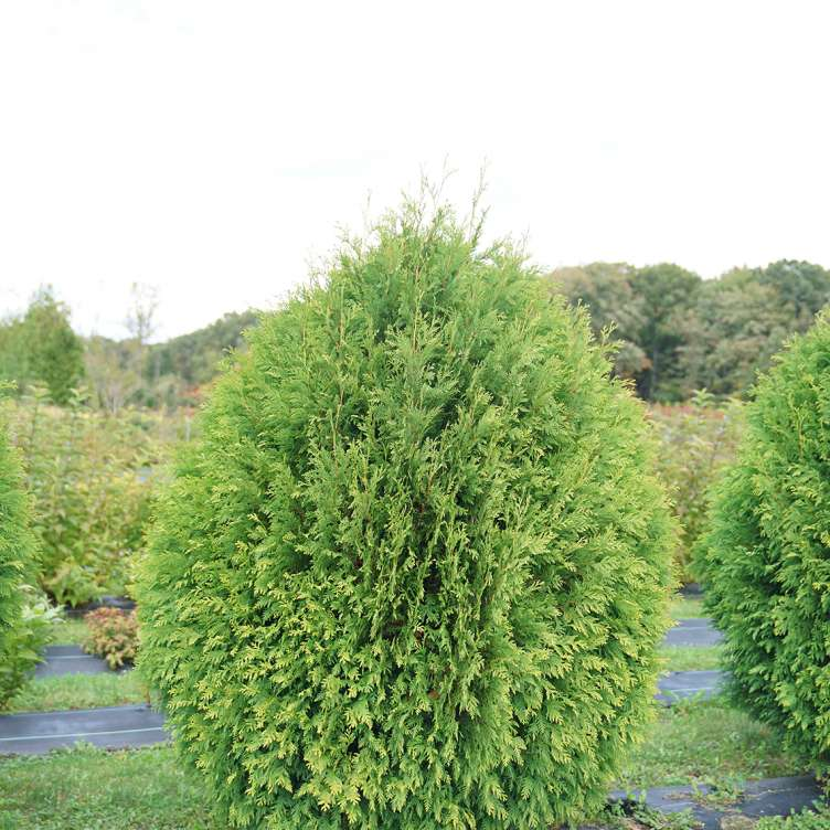 Thuja Cheer Drops bright and fresh green dense foliage in it's tear drop shaped habit.