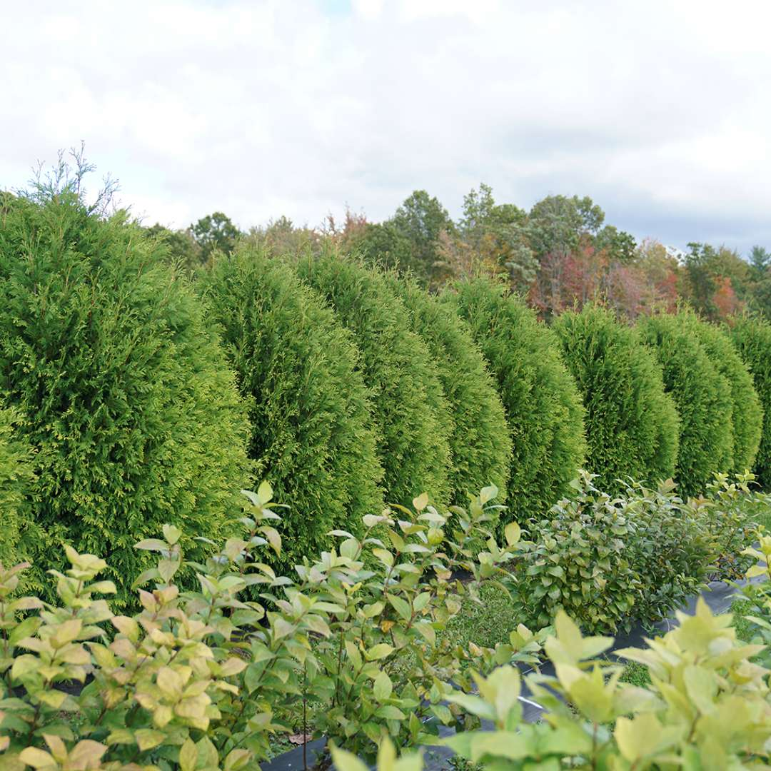 A hedge made from Thuja Cheer Drops.