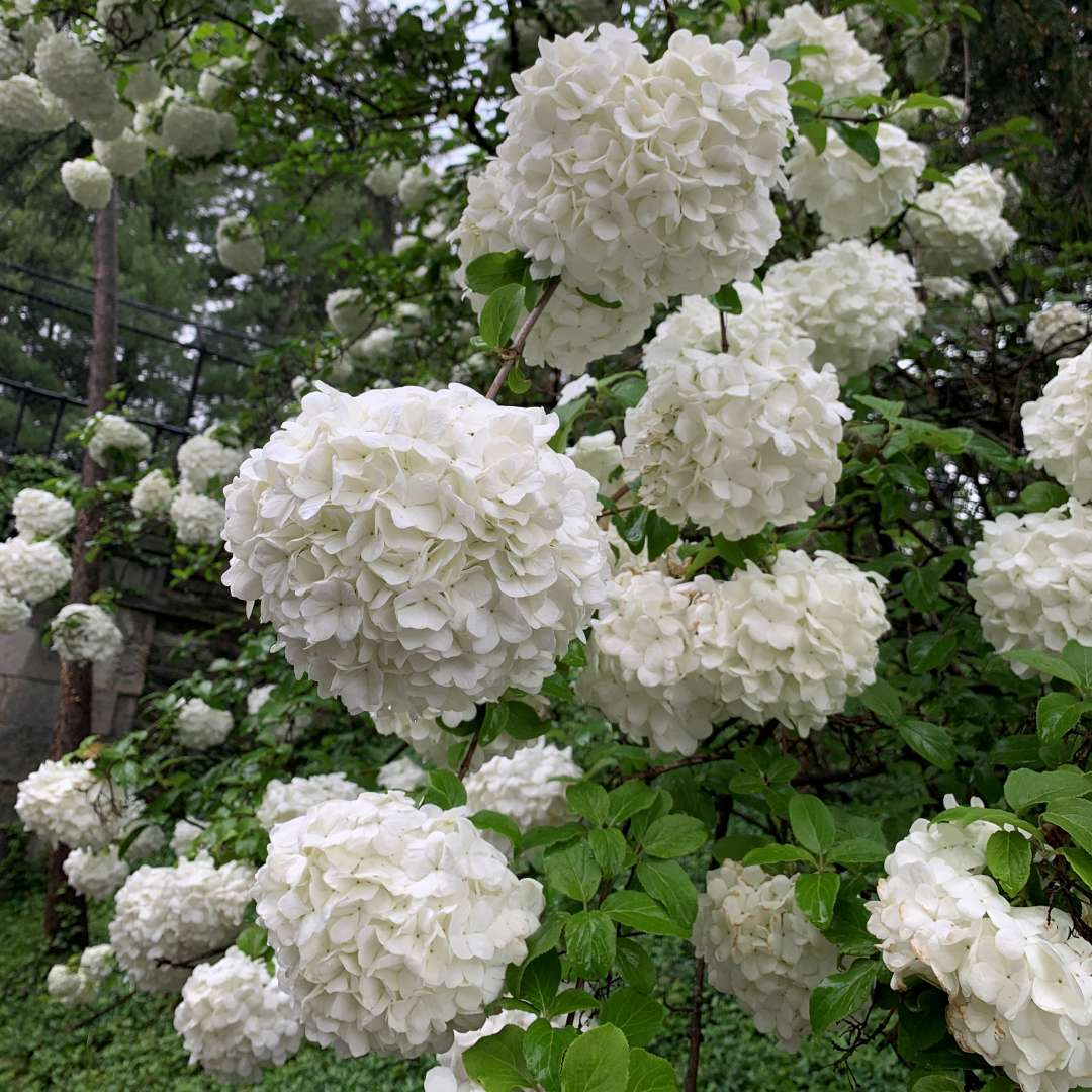 Snowball viburnum lives up to its name with huge round flower heads that look like snowballs.
