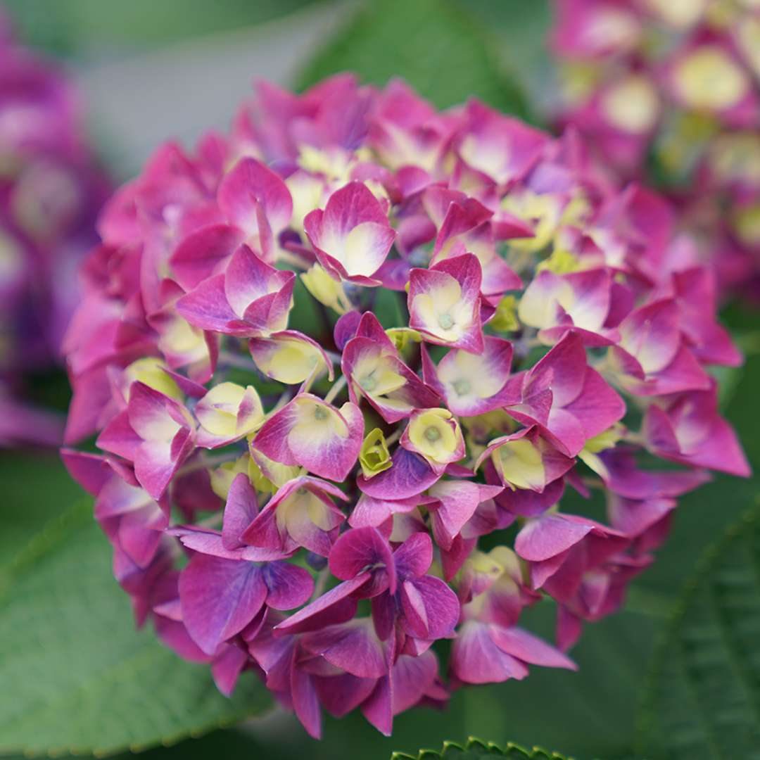 A single bloom of Wee Bit Giddy hydrangea with purple coloration