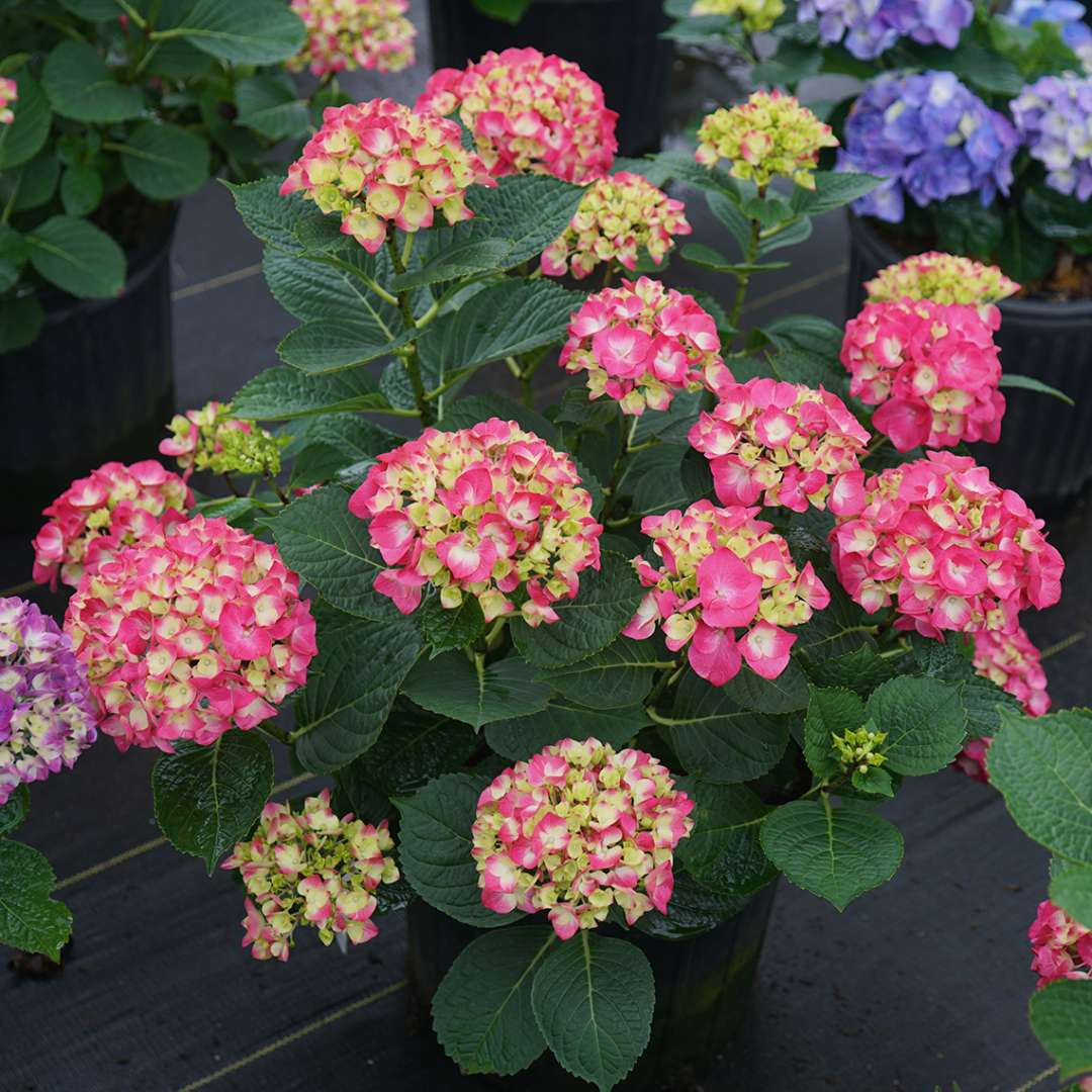 Wee Bit Giddy hydrangea covered in large pink mophead flowers