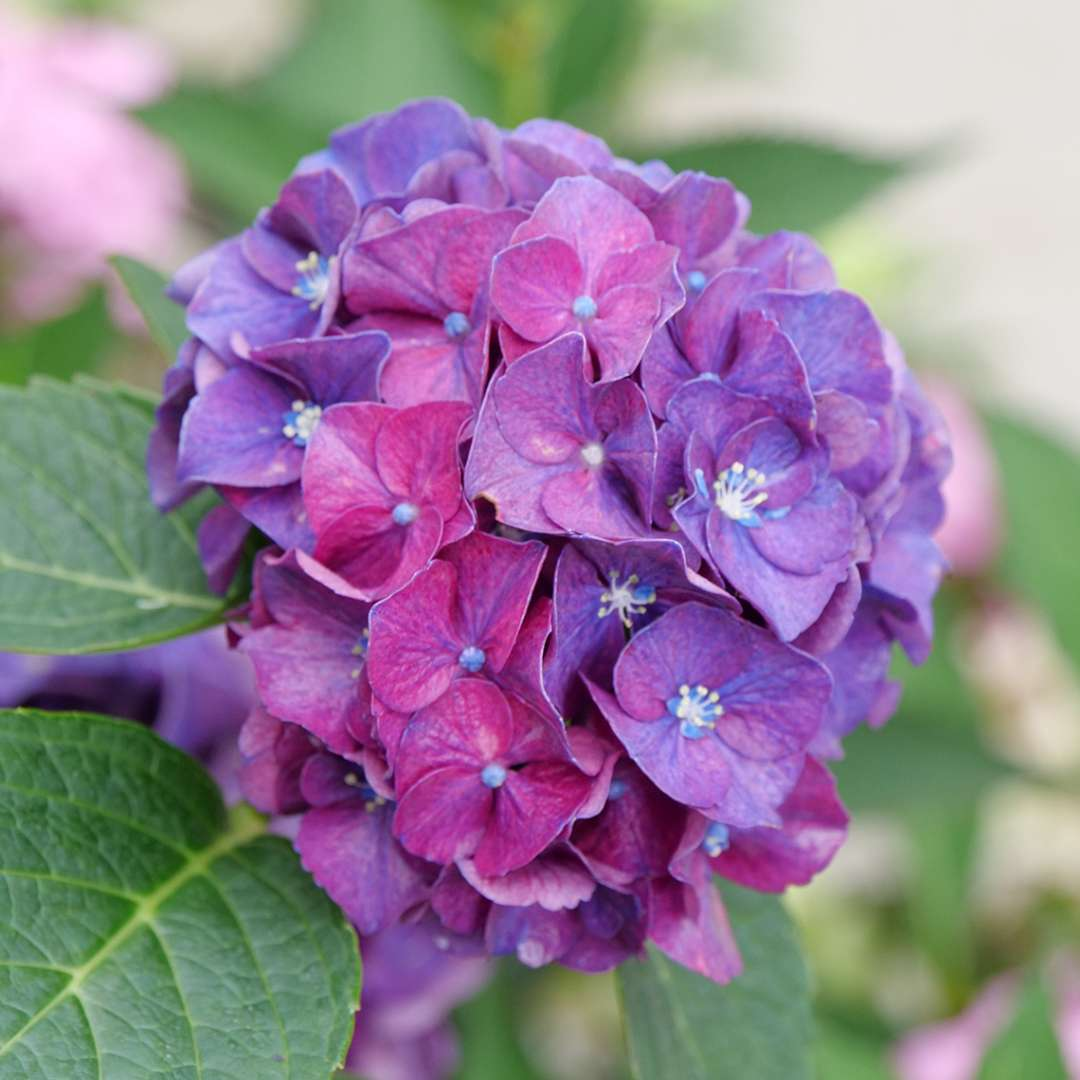 the deep purple mophead bloom of wee bit grumpy hydrangea