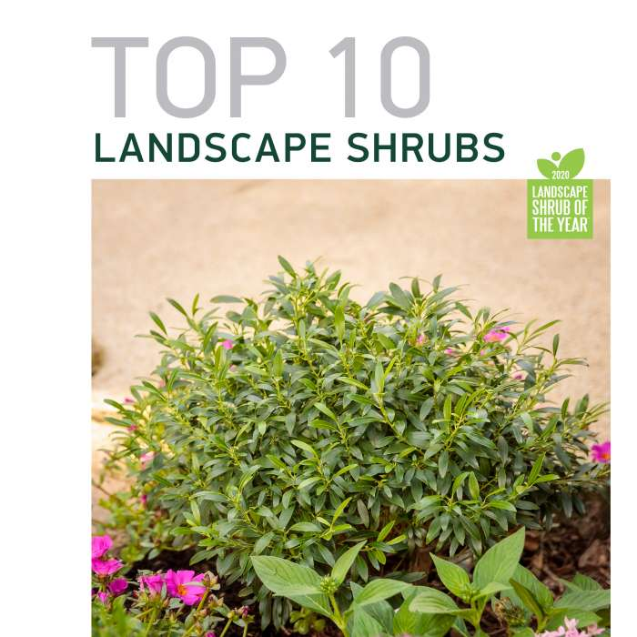 Top 10 Landscape Shrubs 2020 Spring Meadow Nursery