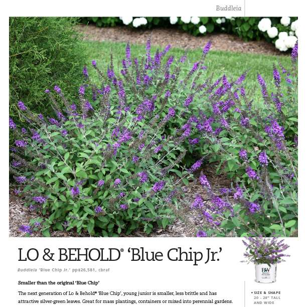 Lo & Behold® 'Blue Chip Jr.' Buddleia spec sheet