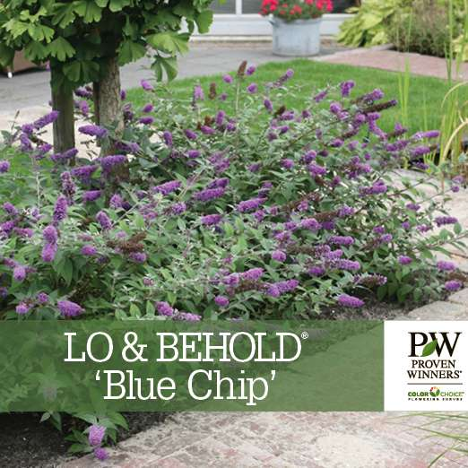 Lo & Behold® 'Blue Chip' Buddleia benchcard