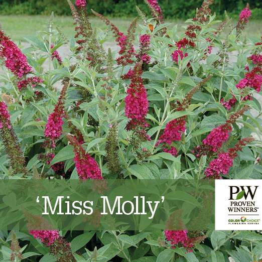 Buddleia 'Miss Molly' benchcard