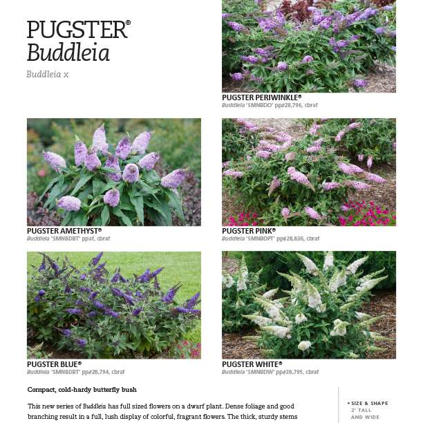 Pugster® Buddleia series spec sheet