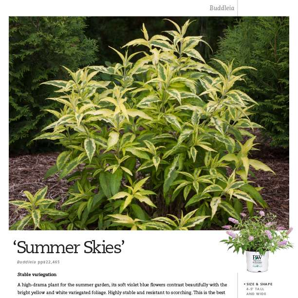 Buddleia 'Summer Skies' spec sheets