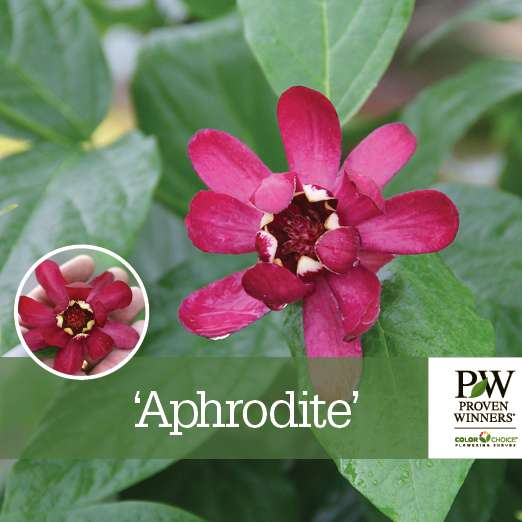 Calycanthus 'Aphrodite' benchcard