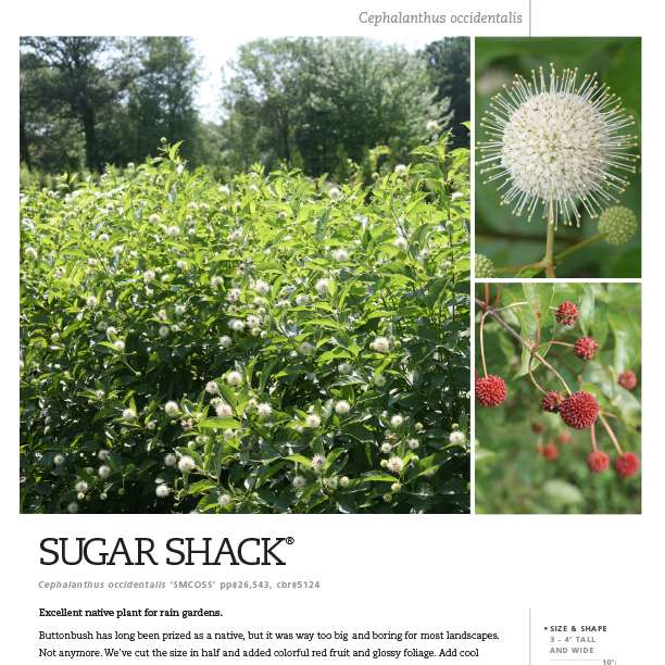 Sugar Shack® Cephalanthus Spec Sheet