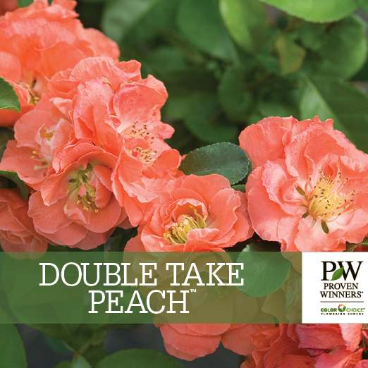 Double Take Peach™ Chaenomeles benchcard