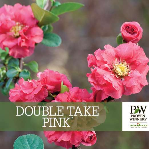 Double Take Pink™ Chaenomeles benchcard