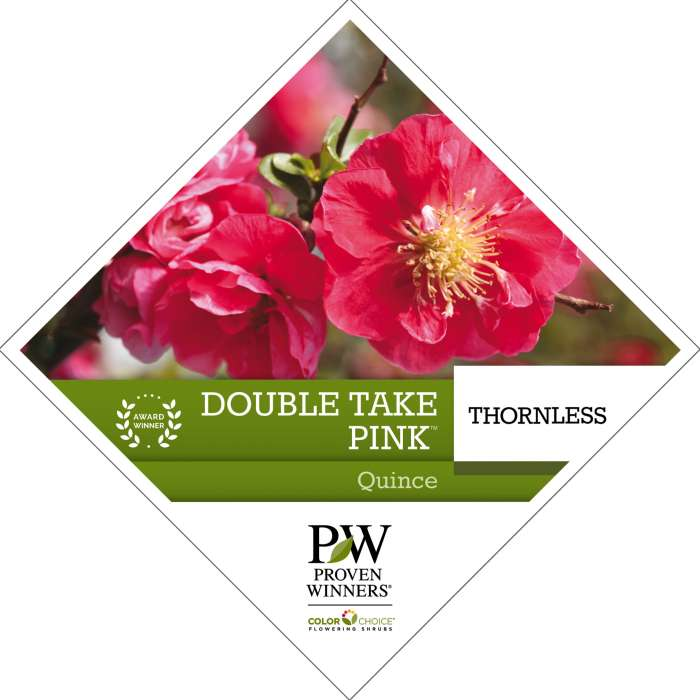 Double Take Pink™ Chaenomeles tag